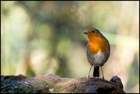 The common Robin
