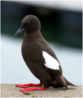Black Guillemots (of Bangor and Glenarm)