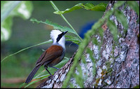 White Crested laughing Thrush