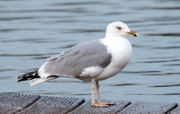 A Yellow Legged Gull? - 21st Jan 2014