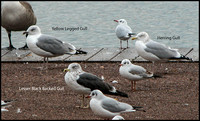 Comparison of gulls - (Photo by Lol Middleton) 10th December