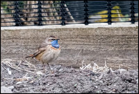 Bluethroat (Male)