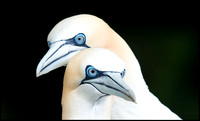 Gannets - the eyes!