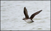 Long Tailed Duck (Record Shots)  - taken at the Knap